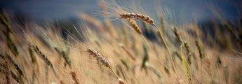 Getreide wächst